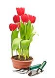 Tulpen en het tuinieren hulpmiddelen Stock Fotografie