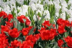 Tulpen en hyacinten Royalty-vrije Stock Foto