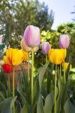 Tulpen en Kleuren Royalty-vrije Stock Fotografie