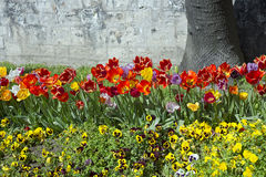Tulpen en pansies in het park in de lente Stock Afbeelding