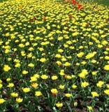 Tulpen en papavers Stock Foto