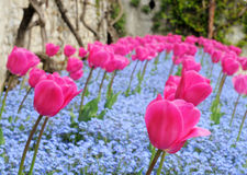 Tulpen en vergeet-mij-nietje, ondiepe dof Royalty-vrije Stock Fotografie