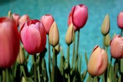 Tulpen entlang Swimmingpool Lizenzfreie Stockbilder
