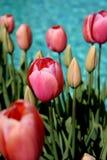 Tulpen entlang Swimmingpool Lizenzfreies Stockbild