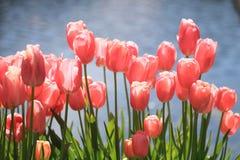 Tulpen entlang Swimmingpool Stockfotografie