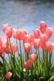 Tulpen entlang Swimmingpool Stockfoto