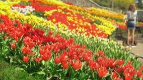 Tulpen erhielten Wasser stock video footage