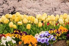 Tulpen fangen mit Kirschblüte auf Stockbild