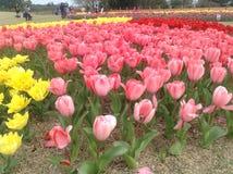 Tulpen-Festival Stockfoto