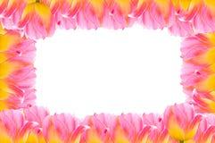Tulpen, Frühlings-Tulpenblumen des Rahmens frische lizenzfreies stockbild
