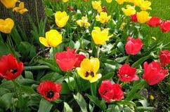 Tulpen Galore royalty-vrije stock foto's