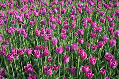 Tulpen Galore Stock Afbeeldingen