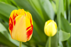 Tulpen Gelbe Tulpen mit roten Streifen arbeiten im Frühjahr mit grünem natürlichem Hintergrund im Garten Lizenzfreie Stockbilder