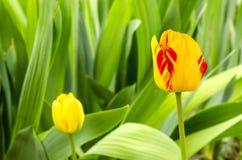 Tulpen Gelbe Tulpen mit roten Streifen arbeiten im Frühjahr mit grünem natürlichem Hintergrund im Garten Lizenzfreies Stockfoto