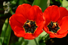 Tulpen getrennt Lizenzfreie Stockbilder