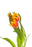 Tulpen getrennt auf weißem Hintergrund Farben der Frühlingsschönheit Stockfotografie