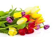 Tulpen getrennt auf weißem Hintergrund Farben der Frühlingsschönheit Stockbild