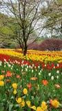 Tulpen in Hangzhou Tanzhiwan royalty-vrije stock afbeeldingen