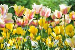 Tulpen het bloeien Royalty-vrije Stock Afbeeldingen