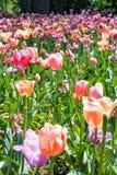 Tulpen het bloeien Royalty-vrije Stock Afbeelding