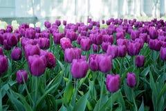 Tulpen in het Central Park van cultuur en recreatie in St. Petersburg royalty-vrije stock afbeeldingen