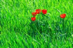 Tulpen in het gras stock foto's