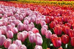 Tulpen in het Keukenhof-park royalty-vrije stock afbeelding