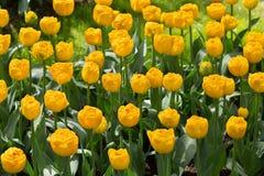 Tulpen in het Keukenhof-park, Lisse stock fotografie