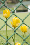 Tulpen hinter einem Zaun Lizenzfreie Stockfotografie