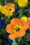 Tulpen hinter ihrem Hauptnoch schönen lizenzfreie stockfotos