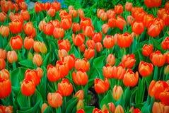 Tulpen-Hintergrund lizenzfreie stockfotografie