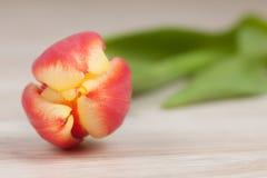 Tulpen-Hintergrund Lizenzfreie Stockfotos