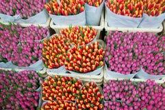 Tulpen in Holland Stockfotografie