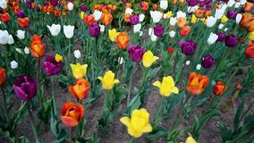 Tulpen im Central Park der Kultur und des Restes von St Petersburg stock video footage