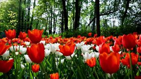 Tulpen im Central Park der Kultur und des Restes von St Petersburg stock video