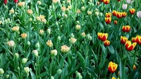 Tulpen im Central Park der Kultur und des Restes von St Petersburg stock footage