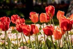 Tulpen im Central Park der Kultur und der Erholung in St Petersburg stockfotos