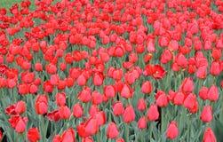Tulpen im Frühjahr lizenzfreie stockfotos