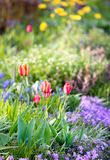 Tulpen im Garten Lizenzfreie Stockfotos