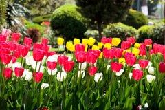 Tulpen im Garten Stockbild