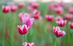 Tulpen im Garten Stockfotos