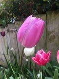 Tulpen im Garten Stockfoto