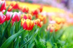 Tulpen im Garten Stockfotografie