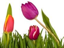 Tulpen im Gras lokalisiert auf weißem Hintergrund stockbilder