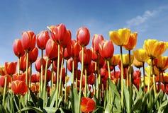 Tulpen im Himmel stockbild