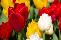 Tulpen im Park stockbild