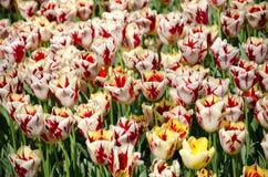 Tulpen im Park stockfotos