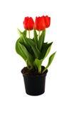 Tulpen im Potenziometer Lizenzfreies Stockfoto