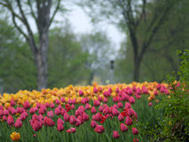 Tulpen im Regen Stockfoto