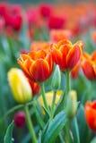 Tulpen im Regen lizenzfreie stockbilder